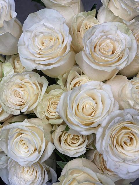 White Mondail Roses